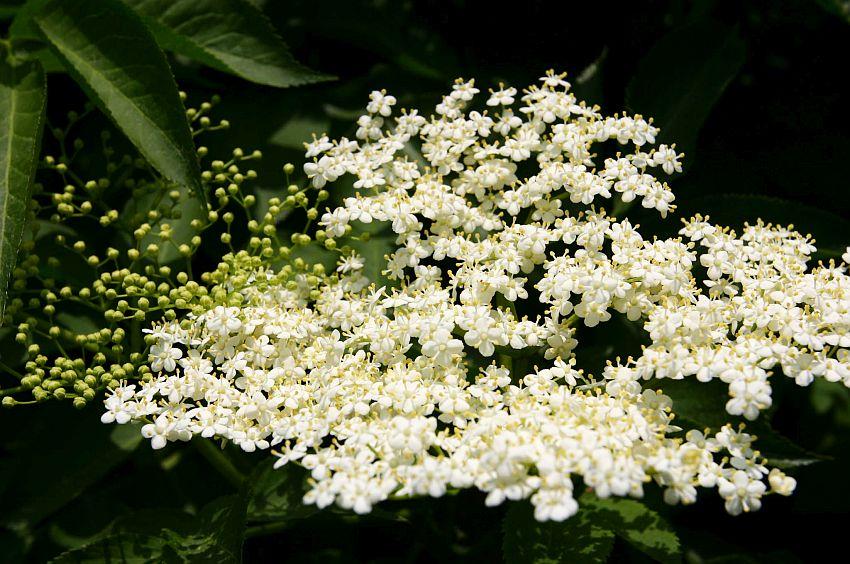 Hollunder Naturheilpraxis Hüneburg Pflanze des Monats